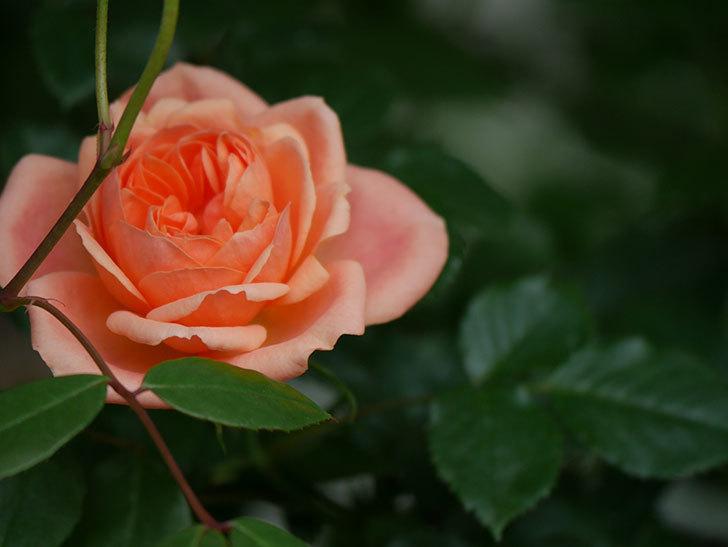スイートドリーム(Sweet Dream)の花がぽつぽつ咲きだした。ツルバラ。2021年-014.jpg