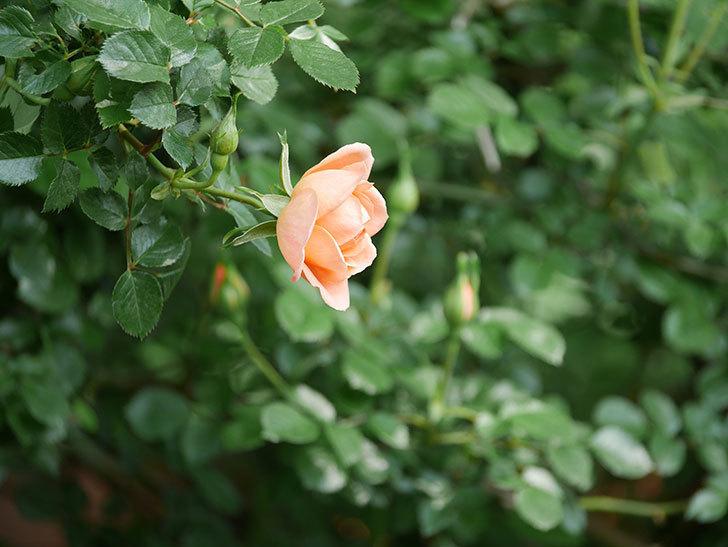スイートドリーム(Sweet Dream)の花がぽつぽつ咲きだした。ツルバラ。2021年-015.jpg