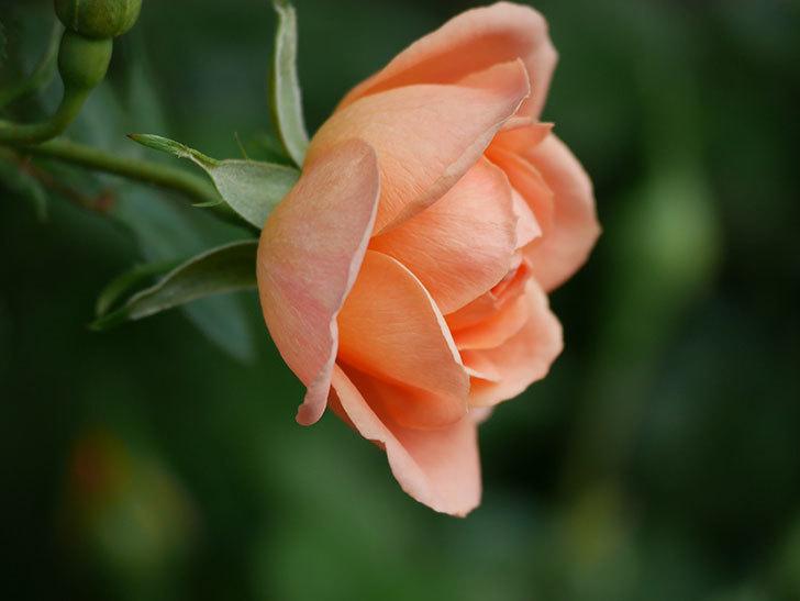 スイートドリーム(Sweet Dream)の花がぽつぽつ咲きだした。ツルバラ。2021年-016.jpg