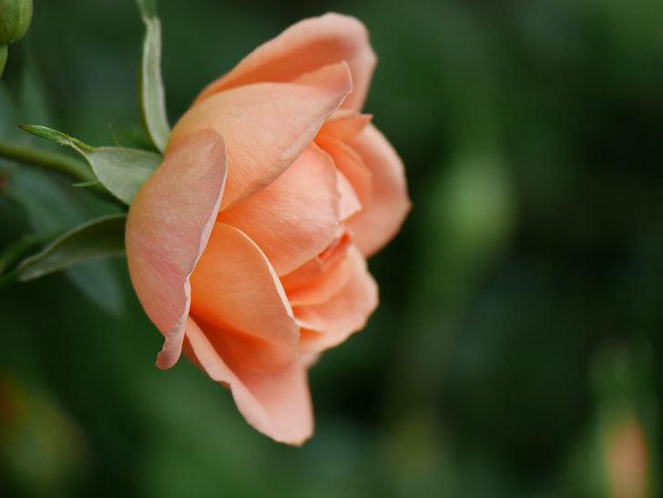 スイートドリーム(Sweet Dream)の花がぽつぽつ咲きだした。ツルバラ。2021年-017.jpg