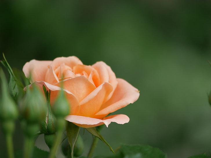 スイートドリーム(Sweet Dream)の花がぽつぽつ咲きだした。ツルバラ。2021年-018.jpg
