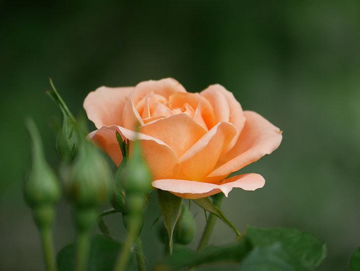 スイートドリーム(Sweet Dream)の花がぽつぽつ咲きだした。ツルバラ。2021年-019.jpg