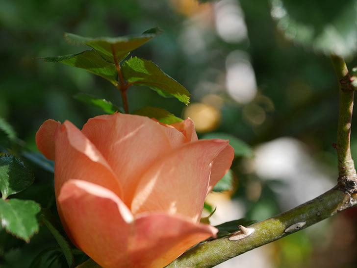 スイートドリーム(Sweet Dream)の花が咲いた。ツルバラ。2021年-002.jpg