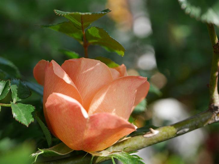 スイートドリーム(Sweet Dream)の花が咲いた。ツルバラ。2021年-003.jpg
