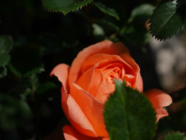 スイートドリーム(Sweet Dream)の花が咲いた。ツルバラ。2021年-004.jpg