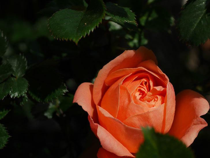 スイートドリーム(Sweet Dream)の花が咲いた。ツルバラ。2021年-005.jpg
