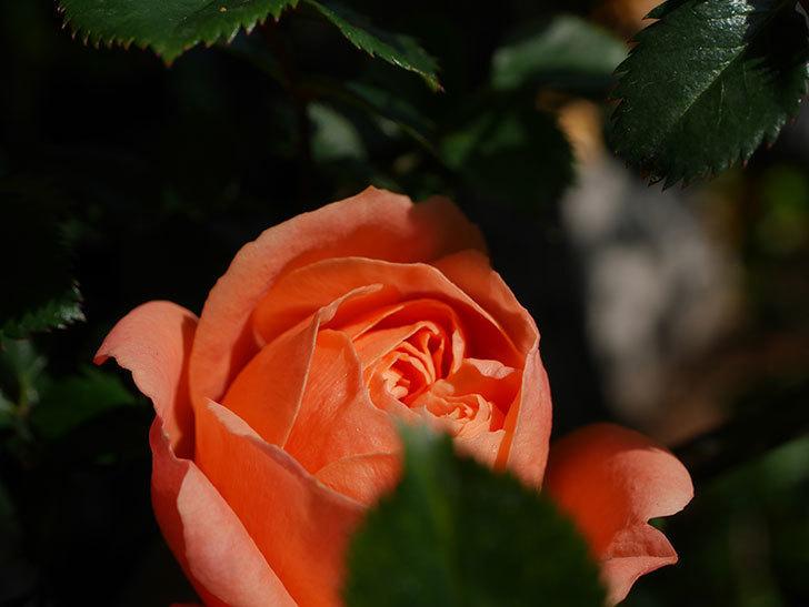 スイートドリーム(Sweet Dream)の花が咲いた。ツルバラ。2021年-006.jpg