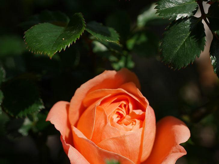 スイートドリーム(Sweet Dream)の花が咲いた。ツルバラ。2021年-008.jpg