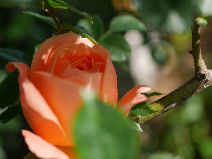 スイートドリーム(Sweet Dream)の花が咲いた。ツルバラ。2021年-009.jpg