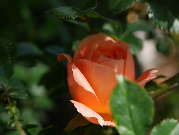 スイートドリーム(Sweet Dream)の花が咲いた。ツルバラ。2021年-010.jpg