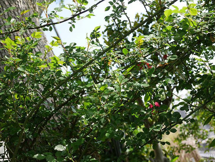 スイートドリーム(Sweet Dream)の花が咲いた。ツルバラ。2021年-011.jpg