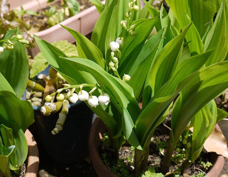 スズランが咲きはじめた。2015年1.jpg
