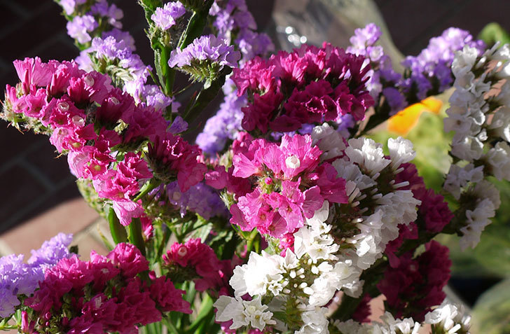 スターチスの切り花を買って来た3.jpg