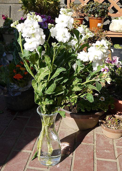 ストックの切り花を買って来た2.jpg