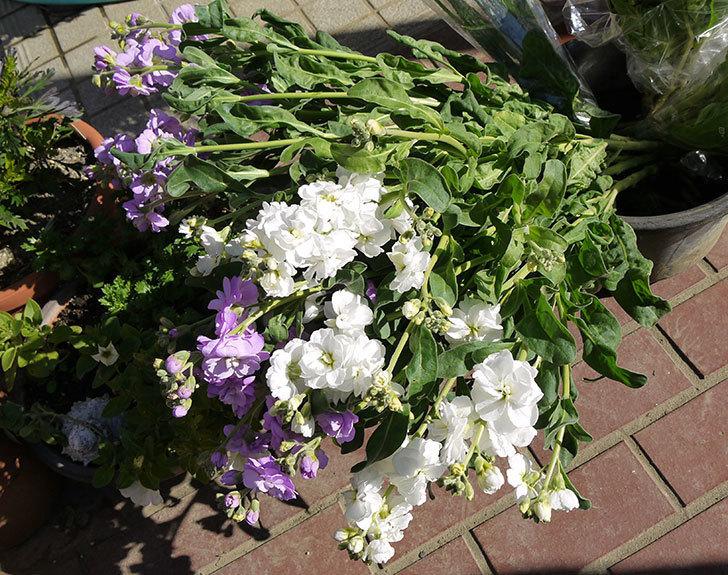 ストックの切り花を買って来た3.jpg