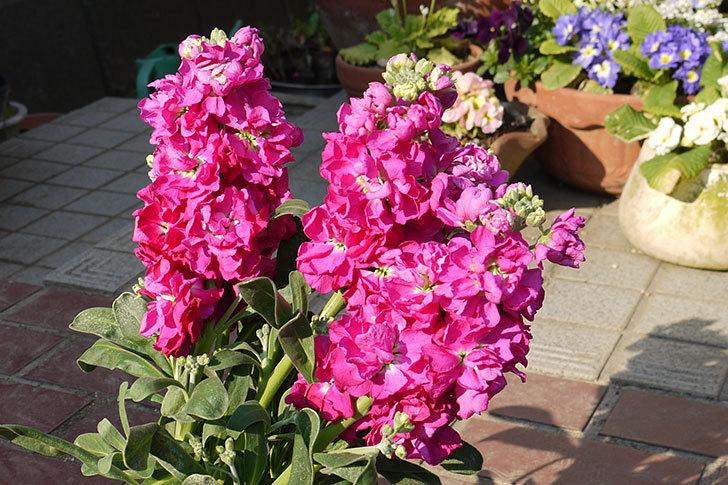 ストックの花をもらった2.jpg