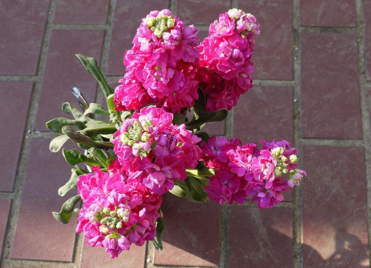 ストックの花をもらった3.jpg