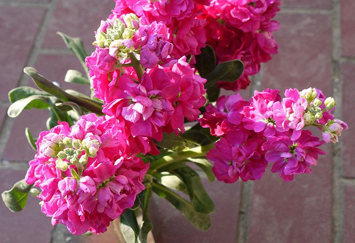 ストックの花をもらった4.jpg