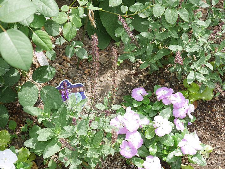 ストロビランサス パープルプリンスの挿し木苗を地植えした。2020年-003.jpg