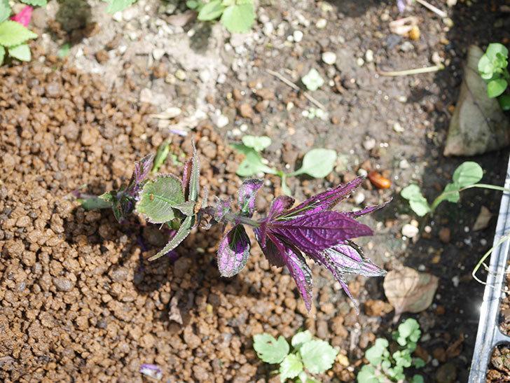 ストロビランサス パープルプリンスの挿し木苗を地植えした。2020年-006.jpg