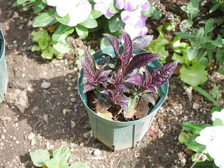ストロビランサス パープルプリンスの挿し木苗を地植えした。2020年-007.jpg