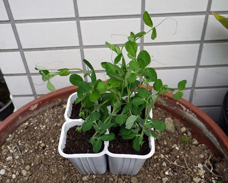 スナックエンドウの苗を4株買って来た。248円。1.jpg