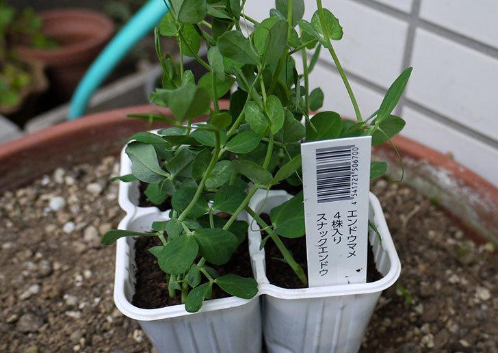 スナックエンドウの苗を4株買って来た。248円。2.jpg