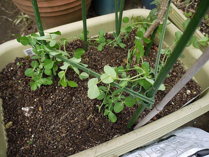 スナックエンドウの苗をプランターに植えた1.jpg