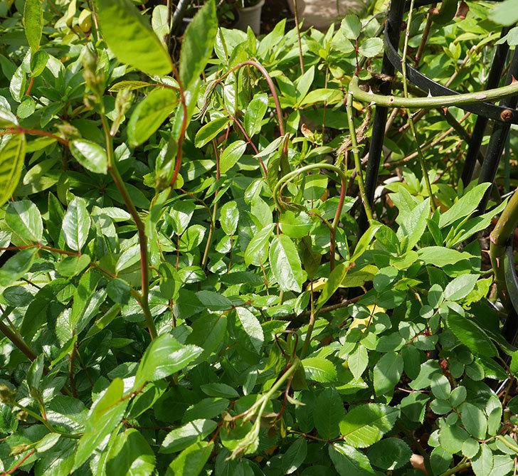 スプリングパル(木立バラ)の蕾付の新枝が4本バラクキバチにやられた。2018年。-1.jpg