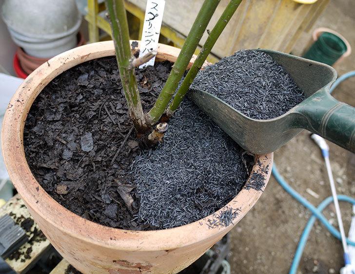 スプリングパル(木立バラ)を鉢に植えた。2017年-5.jpg