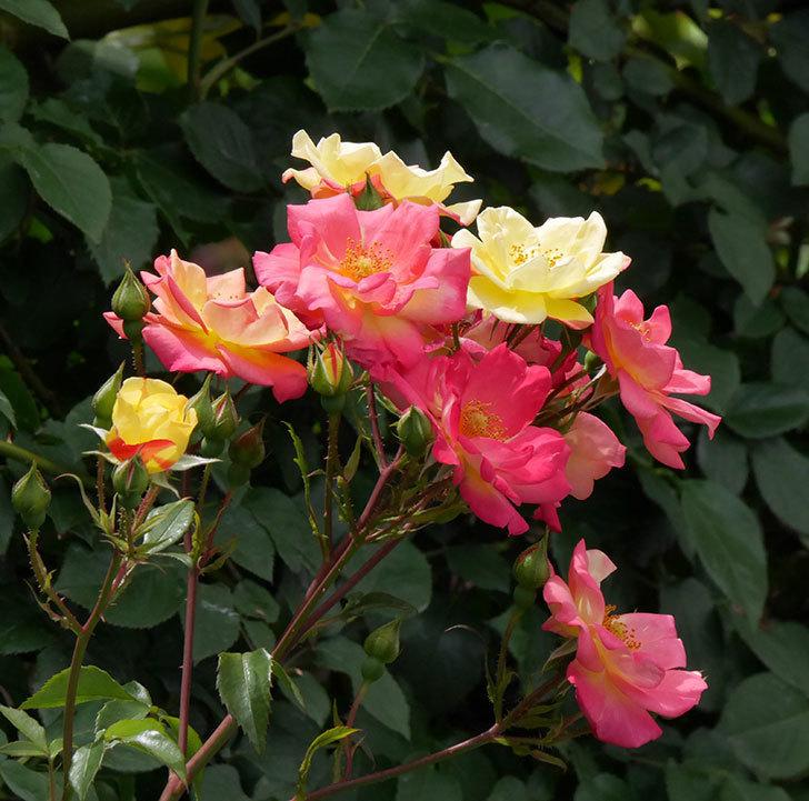 スヴニール・ドゥ・アンネ・フランク(木立バラ)の花がたくさん咲いた。2019年-1.jpg
