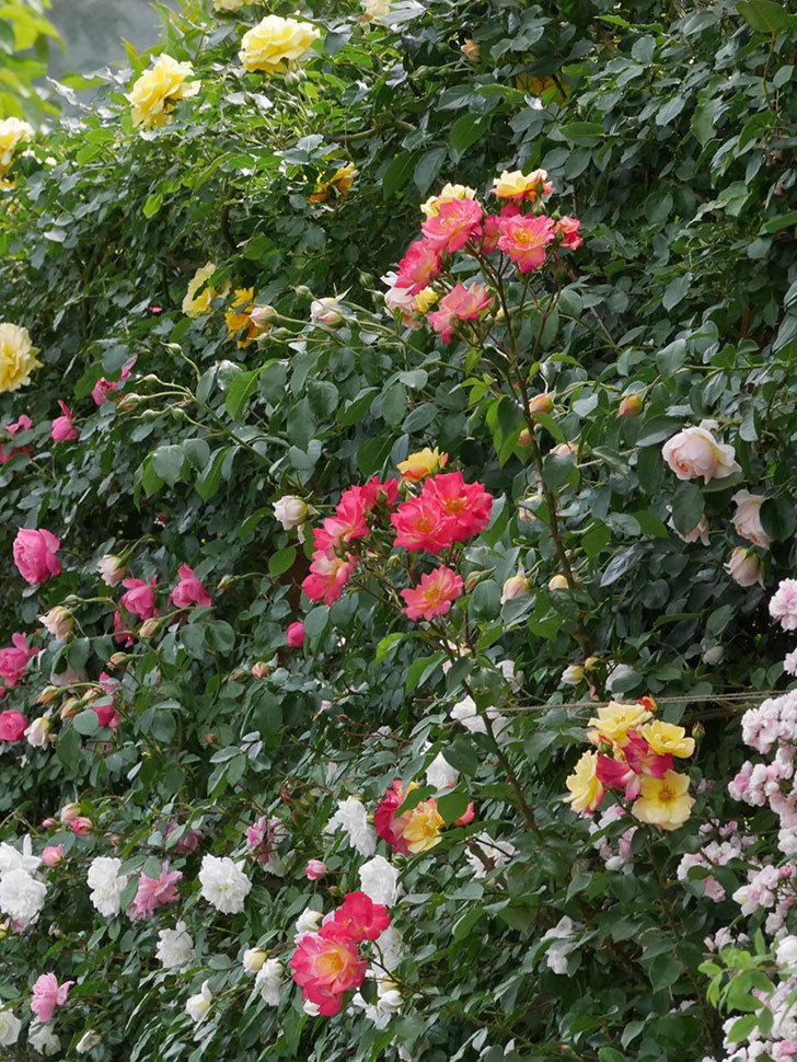 スヴニール・ドゥ・アンネ・フランク(木立バラ)の花がたくさん咲いた。2019年-10.jpg