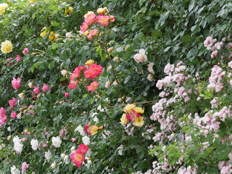 スヴニール・ドゥ・アンネ・フランク(木立バラ)の花がたくさん咲いた。2019年-12.jpg