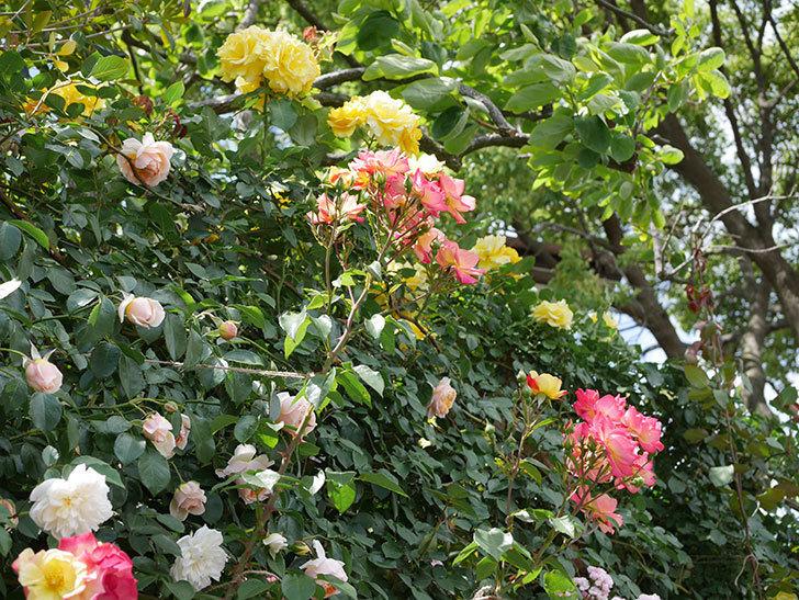 スヴニール・ドゥ・アンネ・フランク(木立バラ)の花がたくさん咲いた。2019年-13.jpg