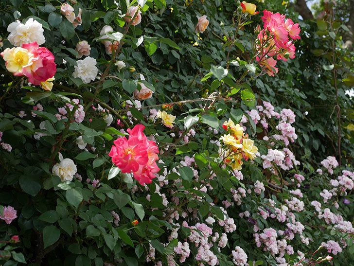 スヴニール・ドゥ・アンネ・フランク(木立バラ)の花がたくさん咲いた。2019年-14.jpg