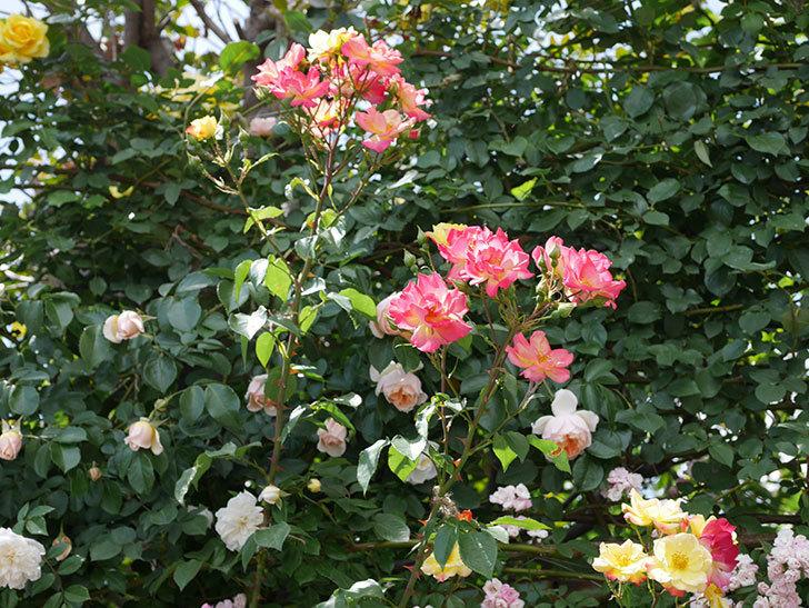 スヴニール・ドゥ・アンネ・フランク(木立バラ)の花がたくさん咲いた。2019年-15.jpg