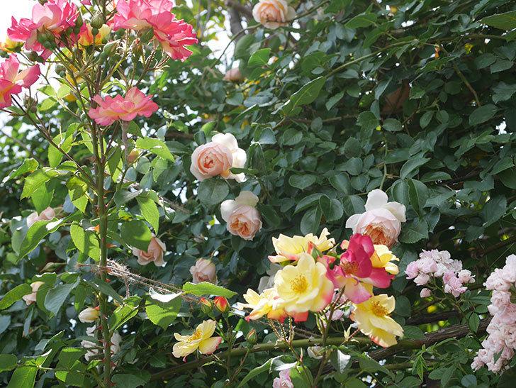 スヴニール・ドゥ・アンネ・フランク(木立バラ)の花がたくさん咲いた。2019年-16.jpg