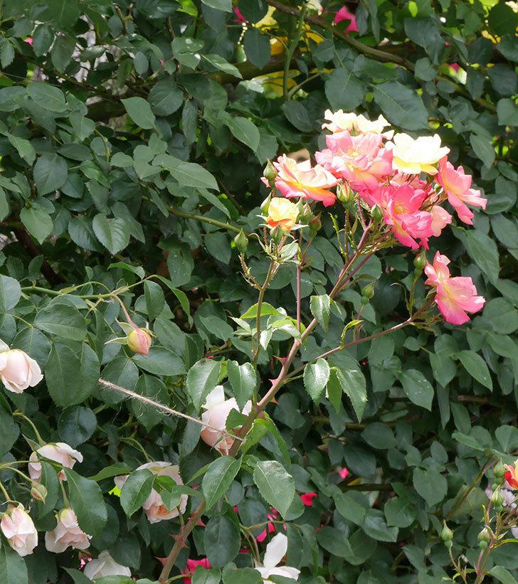 スヴニール・ドゥ・アンネ・フランク(木立バラ)の花がたくさん咲いた。2019年-2.jpg