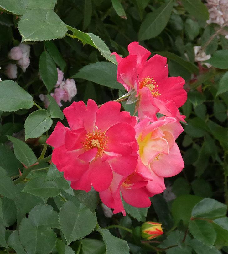 スヴニール・ドゥ・アンネ・フランク(木立バラ)の花がたくさん咲いた。2019年-3.jpg