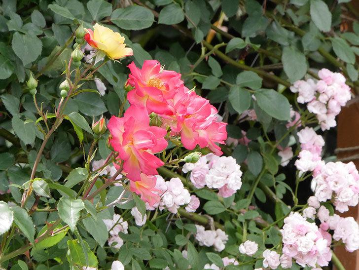 スヴニール・ドゥ・アンネ・フランク(木立バラ)の花がたくさん咲いた。2019年-4.jpg