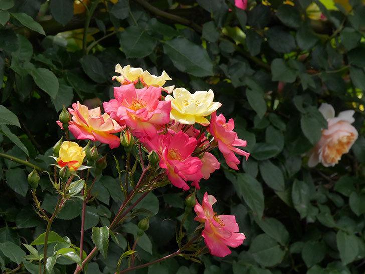 スヴニール・ドゥ・アンネ・フランク(木立バラ)の花がたくさん咲いた。2019年-5.jpg