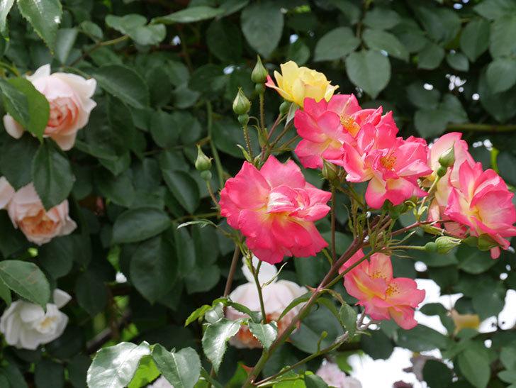 スヴニール・ドゥ・アンネ・フランク(木立バラ)の花がたくさん咲いた。2019年-6.jpg