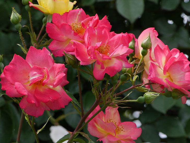 スヴニール・ドゥ・アンネ・フランク(木立バラ)の花がたくさん咲いた。2019年-7.jpg