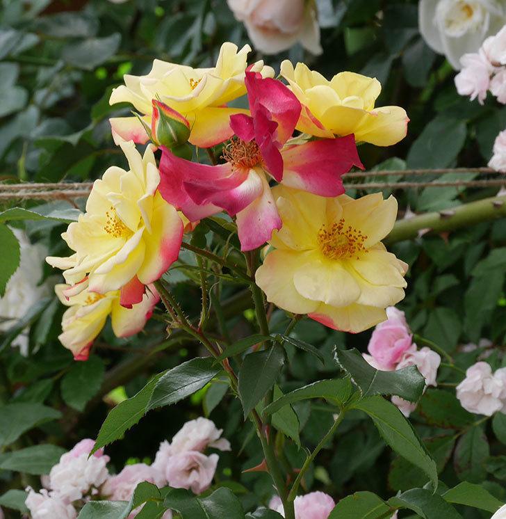 スヴニール・ドゥ・アンネ・フランク(木立バラ)の花がたくさん咲いた。2019年-9.jpg