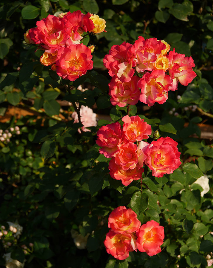 スヴニール・ドゥ・アンネ・フランク(木立バラ)の花がオレンジになった。2020年-1.jpg