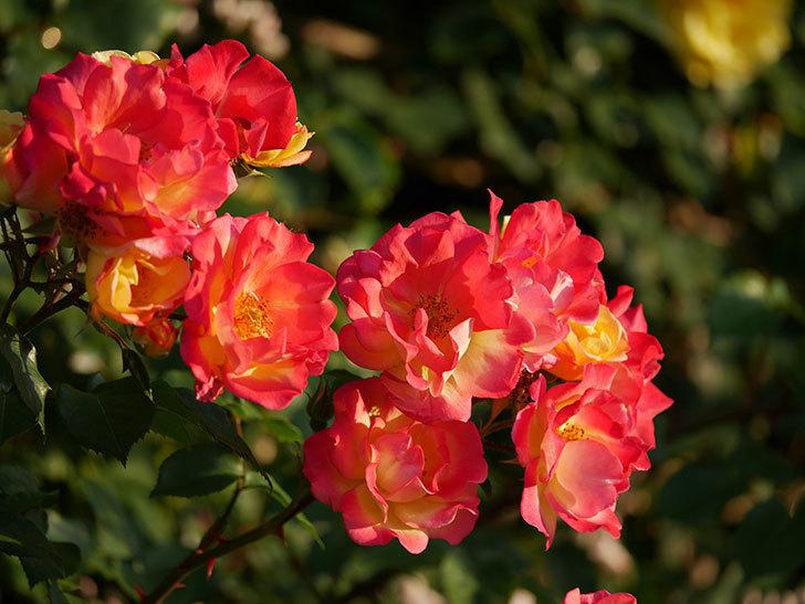 スヴニール・ドゥ・アンネ・フランク(木立バラ)の花がオレンジになった。2020年-10.jpg