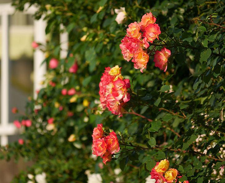 スヴニール・ドゥ・アンネ・フランク(木立バラ)の花がオレンジになった。2020年-11.jpg