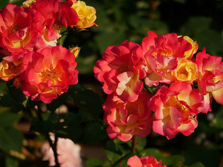 スヴニール・ドゥ・アンネ・フランク(木立バラ)の花がオレンジになった。2020年-2.jpg