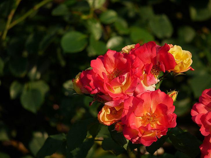 スヴニール・ドゥ・アンネ・フランク(木立バラ)の花がオレンジになった。2020年-4.jpg
