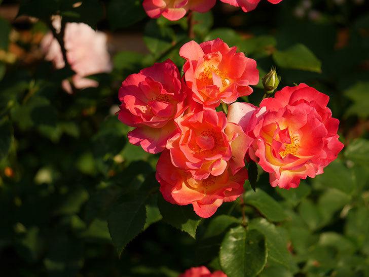 スヴニール・ドゥ・アンネ・フランク(木立バラ)の花がオレンジになった。2020年-5.jpg